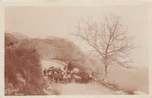 RP: CANNES , France, 1910 ; Sheepherder & flock on road