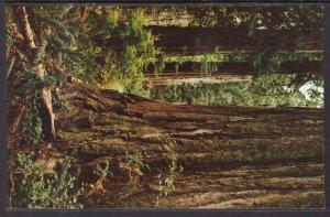 California Coast Redwoods
