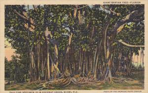 Giant Banyan Tree In Coconut Grove Miami Florida