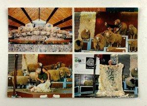 Rotorua New Zealand Agrodome Wool Sheep Shearing Show Postcard