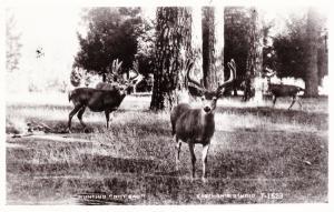 RPPC Mule Deer, Western U.S. Rocky Mountains, Hunting Not Bad Postcard A24