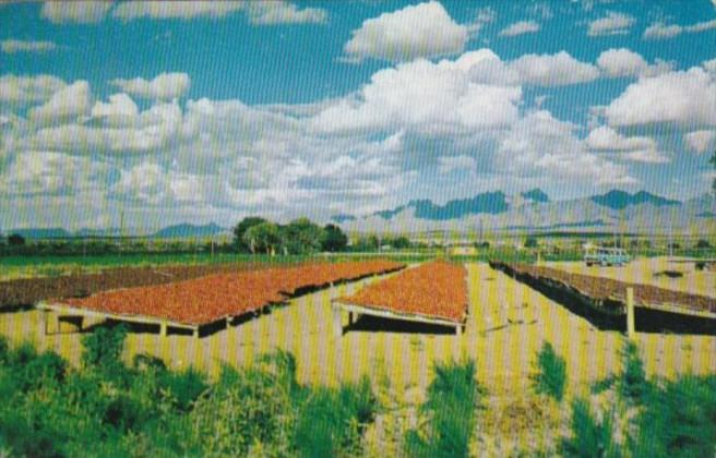 Chili Drying In The Southwest