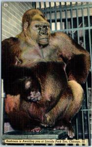 Chicago IL Postcard Gorilla Bushman in Awaiting you at Lincoln Park Zoo Linen