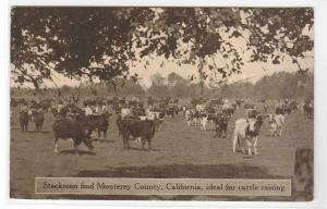 Cattle Herd Ranching Farming Monterey California 1910c postcard