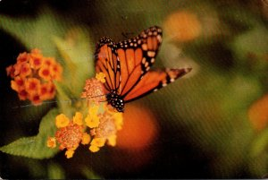 Monarch Butterfly 1992