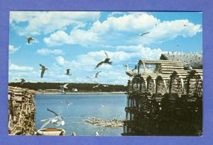 Prospect Harbor,Maine/ME Postcard,Herring Gulls/Lobster Trap