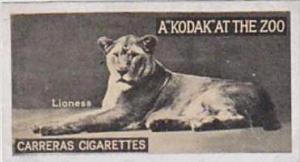 Carreras Cigarette Card Kodak At Zoo 1st Series No 16 Lioness