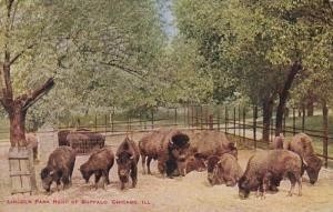 Illinois Chicago Herd Of Buffalo In Lincoln Park
