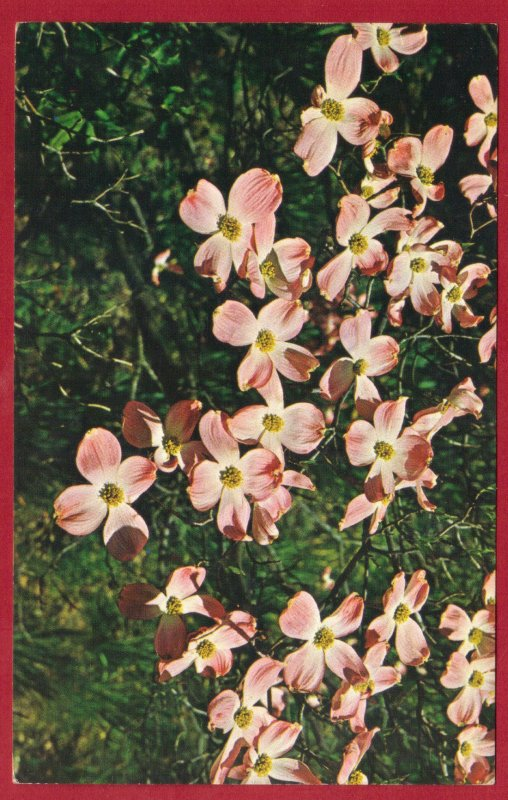 FLOWERING DOGWOOD TREE (cornus)  (191)