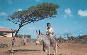 Boy on Donkey , DIVIDIVI tree , Curacao , N.A. , 50-60s