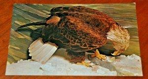 Post Card 1960 Bald Eagle exhibit Museum University Ann Arbor Joseph F. Morsello