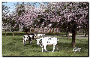 Modern Postcard Normandy Under Apples Cows