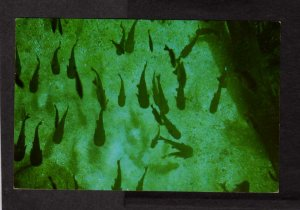 FL Catfish Hotel Silver Springs Florida Postcard Fish Animals Manatee Springs
