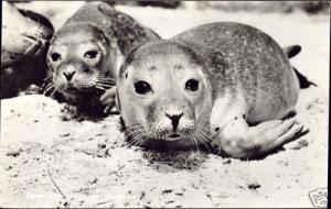 netherlands, TEXEL, SEALS on the Beach (1950s) RPPC