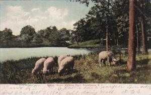 Rhode Island Providence Sheep Roger Williams Park Grazing Sheep 1906