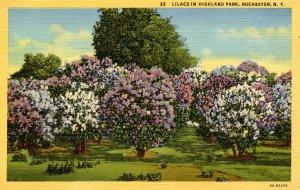 NY - Rochester. Highland Park, Lilacs
