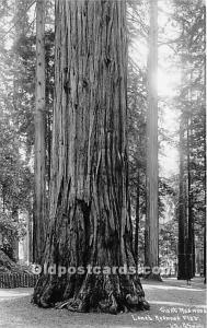 Giant Redwood, real photo Lanes Redwood Flat Logging, Timber Unused