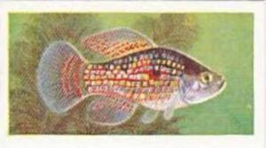Mitchum Foods Vintage Trade Card Aquarium Fish 1957 2nd Series No 48 Flag Fish