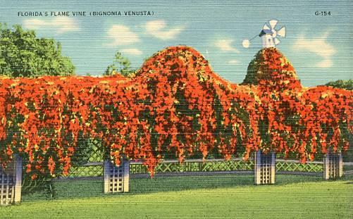 FL- Florida's Flame Vine (Bignomia Venusta)
