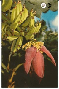 Vintage Hawaii Postcard, Hawaiian Banana Flower Li'i National Color Card