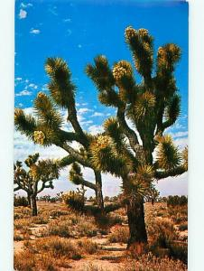 Joshua Tree Firest Praying Plant Giant Yucca Impossible to Age  Postcard  # 7252
