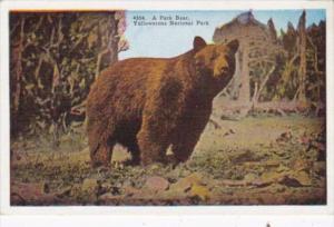A Park Bear Yellowstone National Park