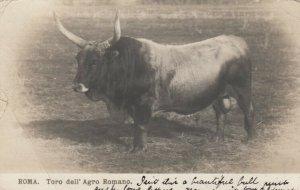 RP:ROMA , Italy , 1905 ; Toro dell'Agro Romano