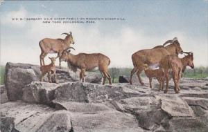 New York City Zoological Park Barbary Wild Sheep Family On Mountain Sheep Hill