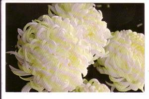 Annual Cavalcade of Chrysanthemums, Gage Park Greenhouses, Hamilton, Ontario