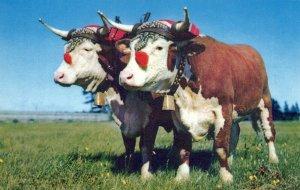 Prize Yoke Of Oxen Halifax Nova Scotia Chrome Vintage Postcard