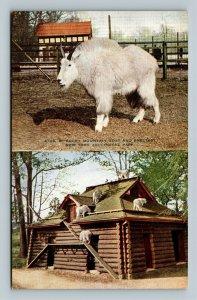 New York City NY, Mountain Goat, NY Zoological Park, Vintage New York Postcard