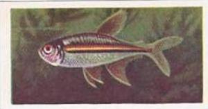 Pukka Tea Vintage Trade Card Aquarium Fish 1961 No 20 Striped Brycon
