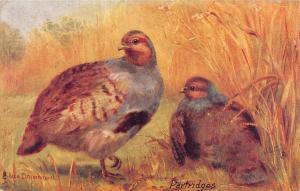 British Game Birds, Phasianidae, The Partridge, Eileen Drummond