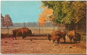 American Bison, Buffalo Zoological Gardens Buffalo, New York