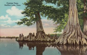 TENNESSEE, 1900-10s; Cypress Trees, Reelfoot Lake