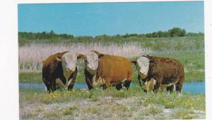 Canadian Hereford Association , Calgary , Alberta , Canada , 40-60s