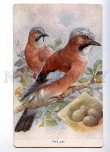 177524 British Birds JAY w/ Eggs Vintage TUCK #9218 PC