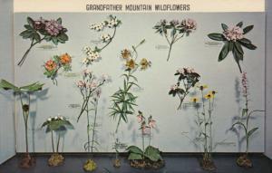 GRANDFATHER MOUNTAIN , North Carolina , 1950-60s ; Wildflowers