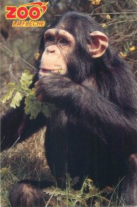 Zoo animal chimpanzee picture Postcard