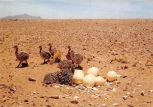 Namibia Ostrich Chicks, Namib Desert, S.W.A.