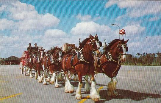 The World Famous Budweiser Clydesdale 8 Horse Team Tampa Florida