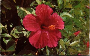 1953 RPPC Postcard Hibiscus Flower Tinted Real Photo COLOR CHROME