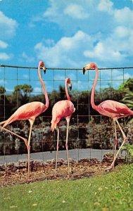 Flamingos, Miami's Parrot Jungle Miami, Florida, USA Unused