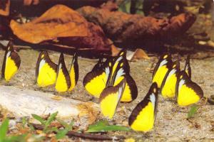Postcard The Chocolate Albatross Butterfly Appias Lyncida #B