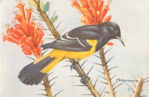 Scott's Oriole Western Songbird 1960s Postcard