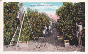 Florida Picking Oranges In Florida