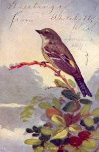 GREETINGS FROM WHITEHALL, WI Myrtle Warbler sits on branch 1908 publ by K-Win