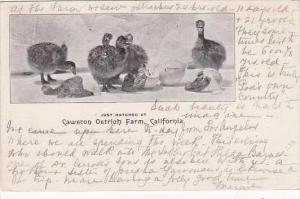 California Just Hatched At Cawston Ostrich Farm