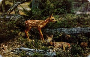 Deer New Arrivals Baby Fawns