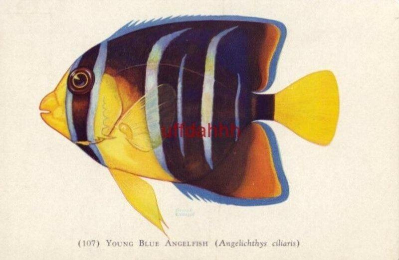 YOUNG BLUE ANGELFISH Norman Erickson ANGELICHTHYS CILIARIS Shedd Aquarium card